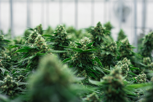 Grassroots cannabis cultivation pre-harvest